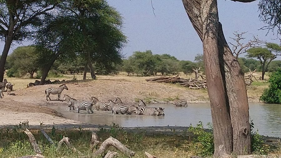 Zebras in one of the national parks